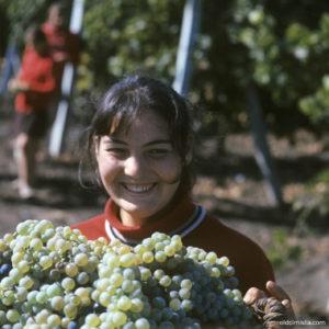 Фотограф Ион Кибзий фотографирует девушку собирающую урожай винограда 1971 (либо 1972) года. Село Гура Галбеней. Источник: https://www.flickr.com/photos/ion_chibzii/